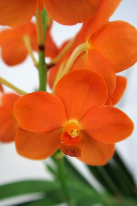 Vanda_Miss_Orange_lähi_OP_pien_IMG_7516.jpg