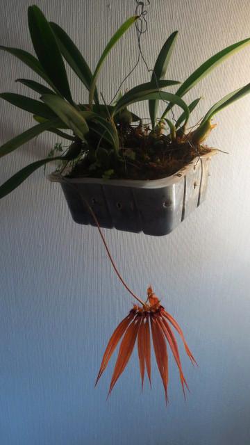 Bulbophyllum_Meechai_CopperQueen_OP_IMG_0486.jpg