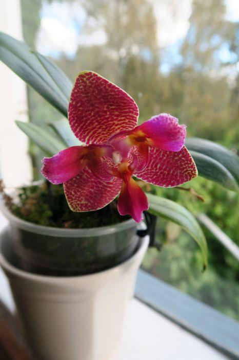 Phalaenopsis_JoyFairyTaleJoy_OP_pien_IMG_7893.jpg