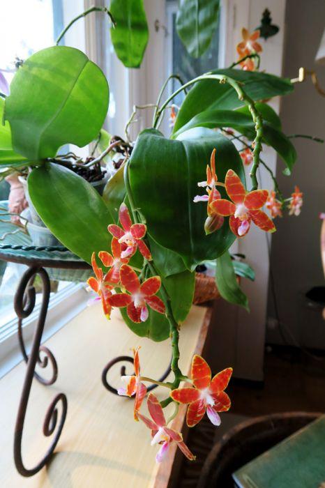 Phalaenopsis_Venosasp_OP_pien_IMG_7827.jpg