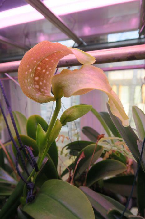 Bulbophyllum_grandiflorum_pien_OP_IMG_8353.jpg