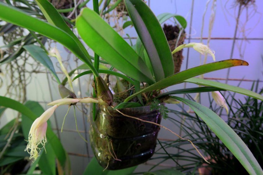 Bulbophyllum_medusae2_nuput_pien_OP_IMG_8251.jpg