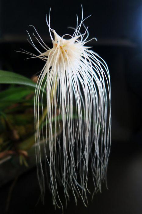 Bulbophyllum_medusae_kukka_pien_OP_IMG_8293.jpg