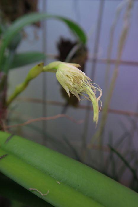 Bulbophyllum_medusae_nuppu_pien_OP_IMG_8254.jpg
