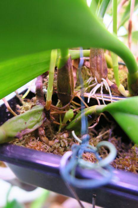 Bulbophyllum_grandiflorum_Joonatan_OP_pien_IMG_8493.jpg