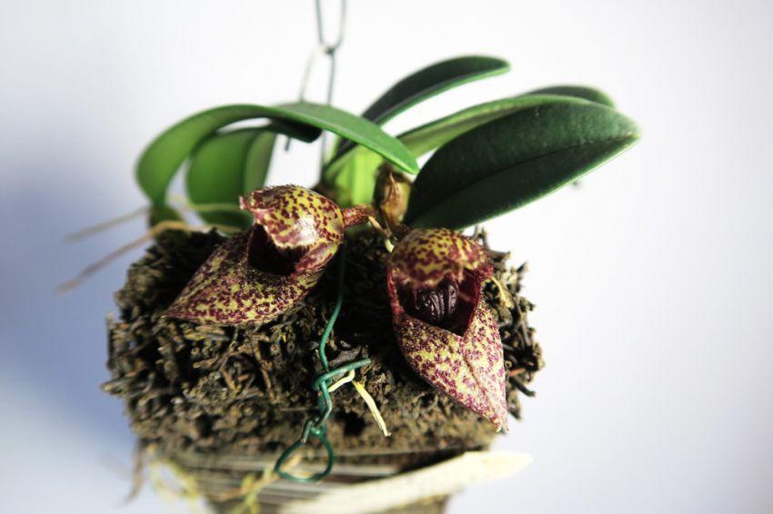 Bulbophyllum_frostii_OP_pien_IMG_9006.jpg