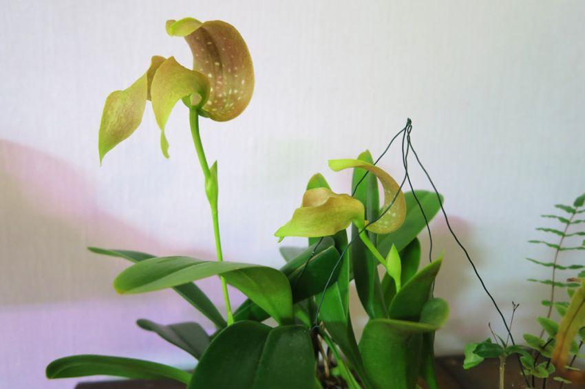 Bulbophyllum_grandiflorum_PikkuMyy_OP_pien_IMG_9063.jpg
