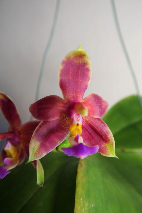 Phalaenopsis_bellina_Ponkan_x_mannii-Black_OP_pien_IMG_9106.jpg