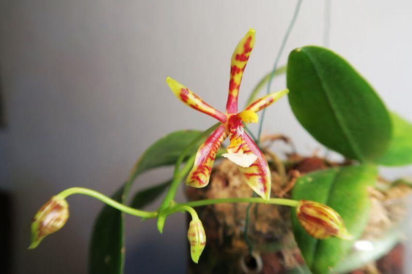 Phalaenopsis_mannii_OP_pien_IMG_9114.jpg