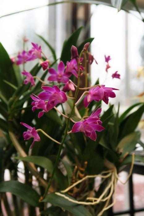 Dendrobium_Berry_Oda_OP_pien_IMG_9866.jpg