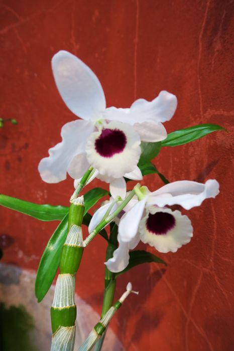 Dendrobium_nobile_SJunnonen_Eki_pien_IMG_9886.jpg