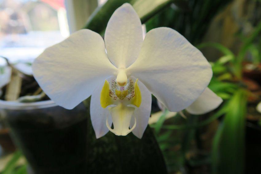 Phalaenopsis_philippinensis_OP_pien_IMG_9937.jpg
