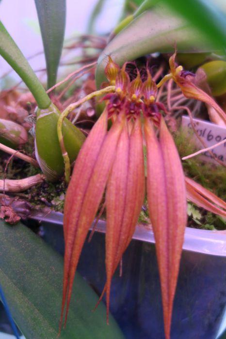 Bulbophyllum_CopperQueen_pien_OP_IMG_0123.jpg