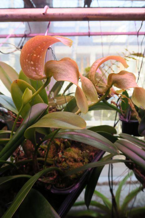 Bulbophyllum_grandiflorum_OP_pien_IMG_0121.jpg