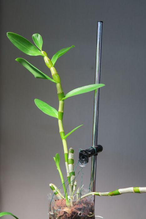 Dendrobium_SailorBoy_uusin_OP_pien_IMG_0062.jpg