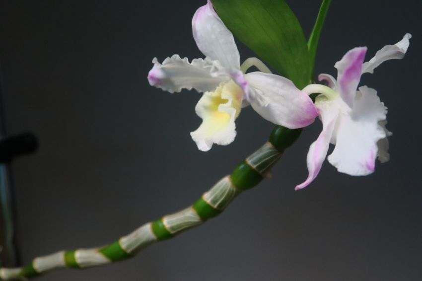 Dendrobium_Yamamoto_Kukkiva_verso_OP_pien_IMG_0064.jpg