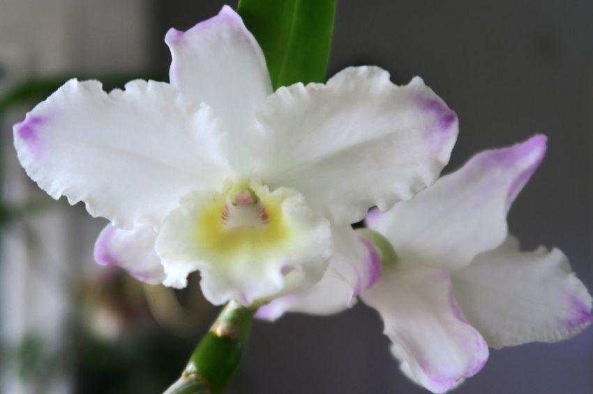 Dendrobium_Yamamoto_kukat_OP_pien_IMG_0090.jpg