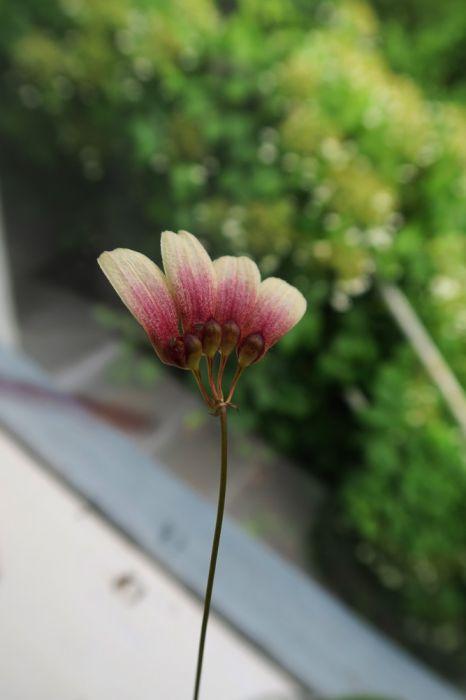 Bulbophyllum_lepidum_pien_OP_IMG_1535.jpg