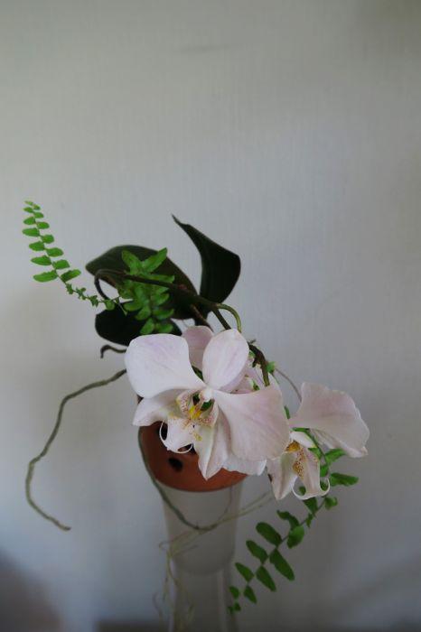 Phalaenopsis-x-amphitrite_sanderianaxstuartiana_OP_pien_IMG_1491.jpg