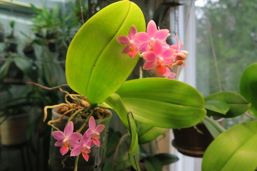 Phalaenopsis_Venosasp_venosa_x_speciosa_pien_OP_IMG_1532.jpg