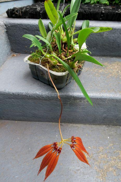 Bulbophyllum_Meechei_CopperQueen_OP_koko_pien_IMG_1654.jpg
