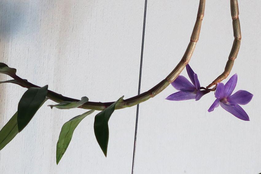 Dendrobium_victoria-reginae_x_D.laevifolium_OP_pien_IMG_2839.jpg