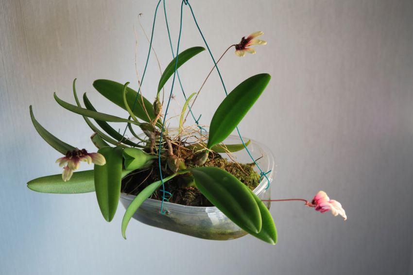 Bulbophyllum_lepidum_OP_koko_pien_IMG_2937.jpg