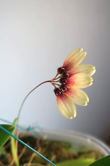 Bulbophyllum_lepidum_kukka_pien_IMG_2935.jpg