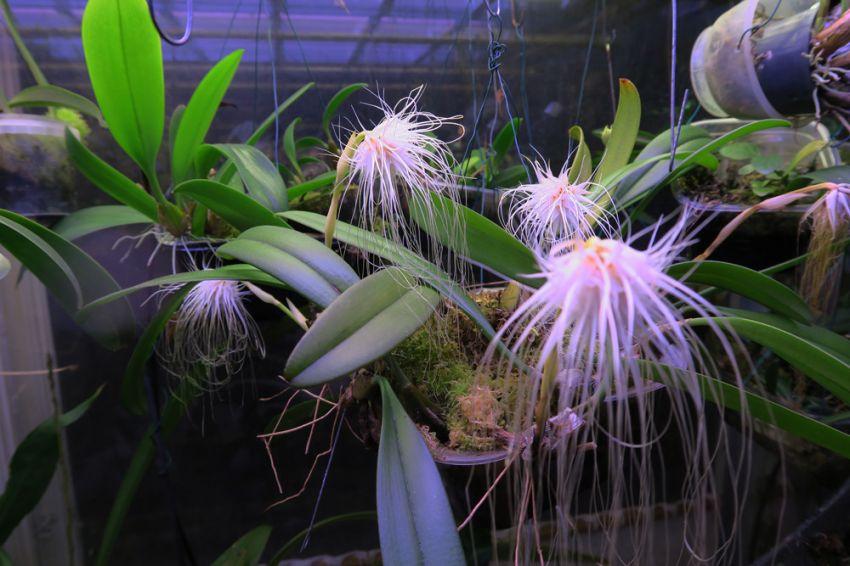 Bulbophyllum_medusae_2017_OP_pien_IMG_2946.jpg