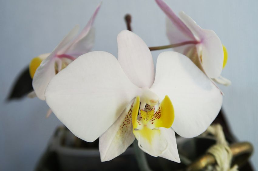 Phalaenopsis_philippinensis_OP_lähi_pien_IMG_3587.jpg