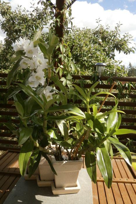 Dendrobium-nobile-Marketti-Apollo.jpg