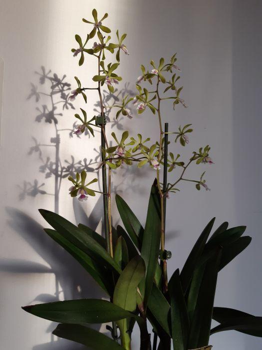 Epidendrum-paniculatumPeru-Machu-Picchu-.jpg
