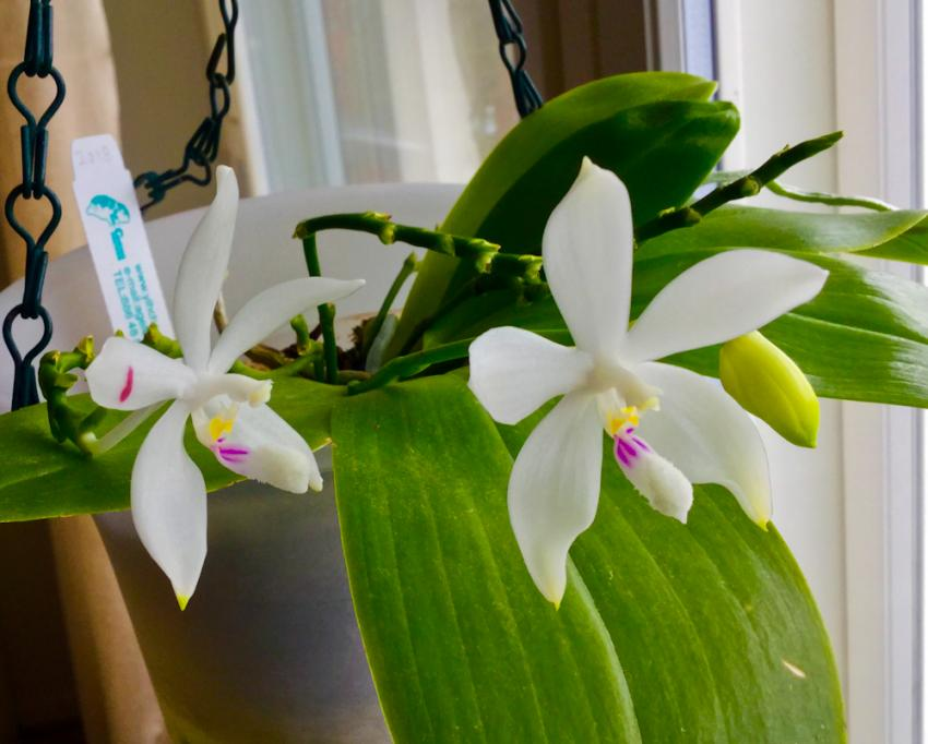 Phalaenopsis-tetrapis-3-3.jpg