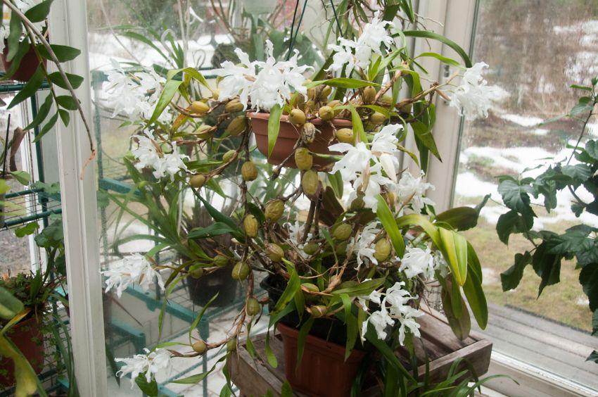 Lumikuningatar orkidea