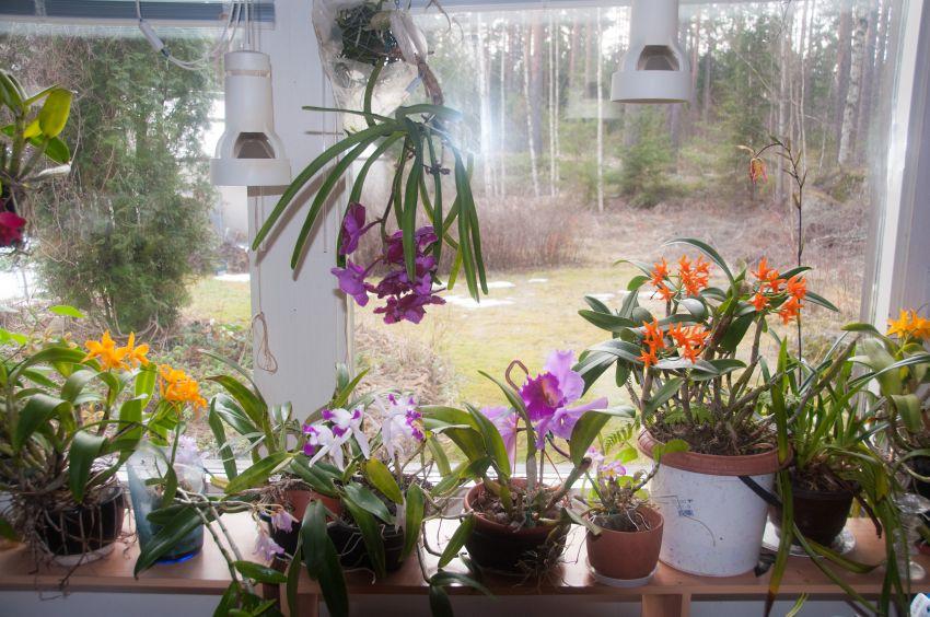 Orkideaikkuna-DSC_7497.jpg