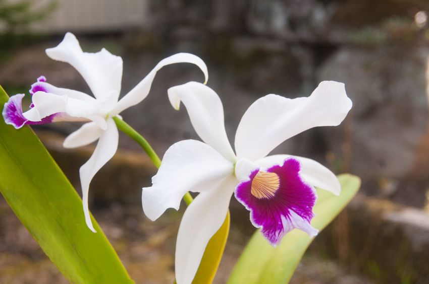 DSC_7801-Laelia-purpurata-suavissima.jpg