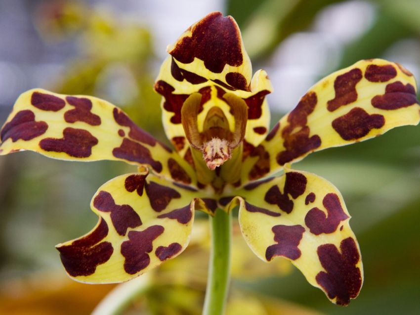 Oncidium-Yellow-brown-Orchid.jpg