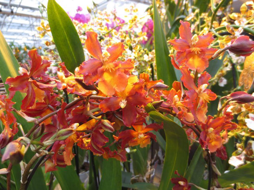 Orkideapäivä-003.JPG