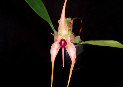 <em>Bulbophyllum echinolabium</em>