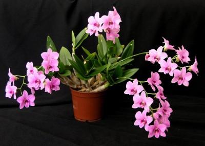 <em>Dendrobium bigibbum</em> rist.