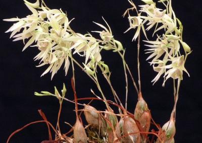 <em>Dendrobium gregulus</em>