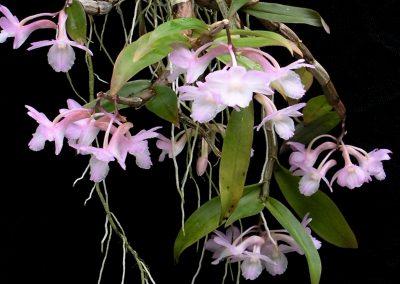 <em>Dendrobium cumulatum</em> Pink