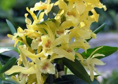 <em> Dendrobium </em> Stardust