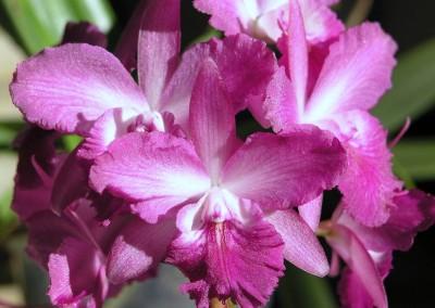 <em>Cattleytonia </em>Thai Pinky
