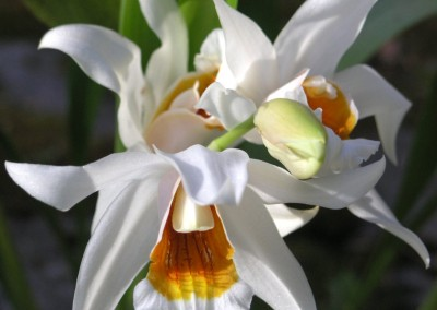 <em>Coelogyne </em>William Micholitz