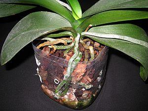 Orkidean Hoito Kukinnan Jälkeen