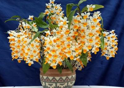 <em>Dendrobium thyrsiflorum</em>