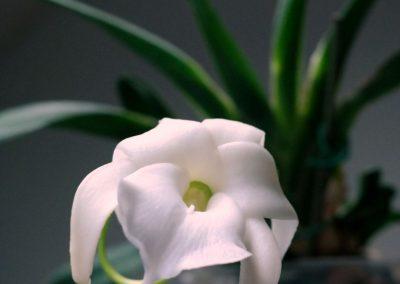 <em>Angraecum magdalenae</em>