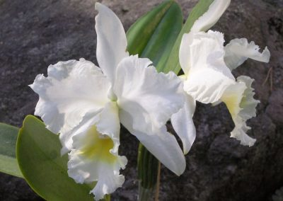 <em>Cattleya</em> Angel Bells Suzie