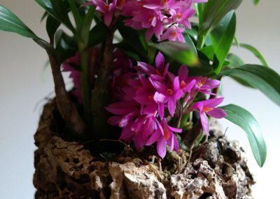 <em>Dendrobium</em> Hibki